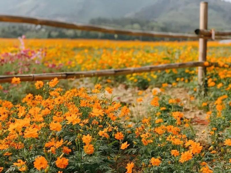 """杭州周边""""网红""""小黄花海,颜值爆表的拍照圣地!"""