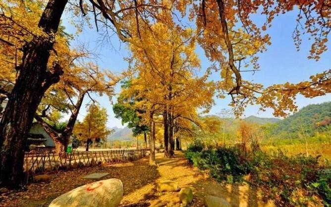 杭州这个偏僻的小山村里,藏着全杭城最美的银杏树