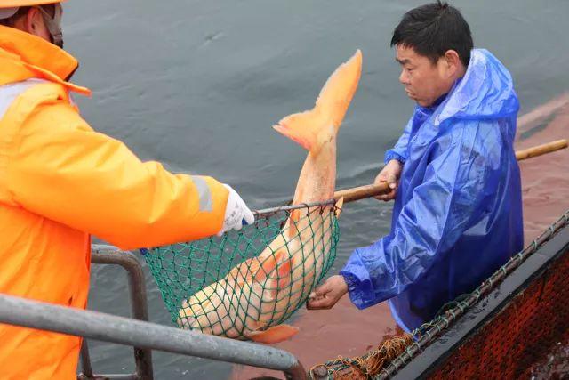 """千岛湖再次上演中华一绝的""""巨网捕鱼"""",新年第一网收获八万余斤!"""