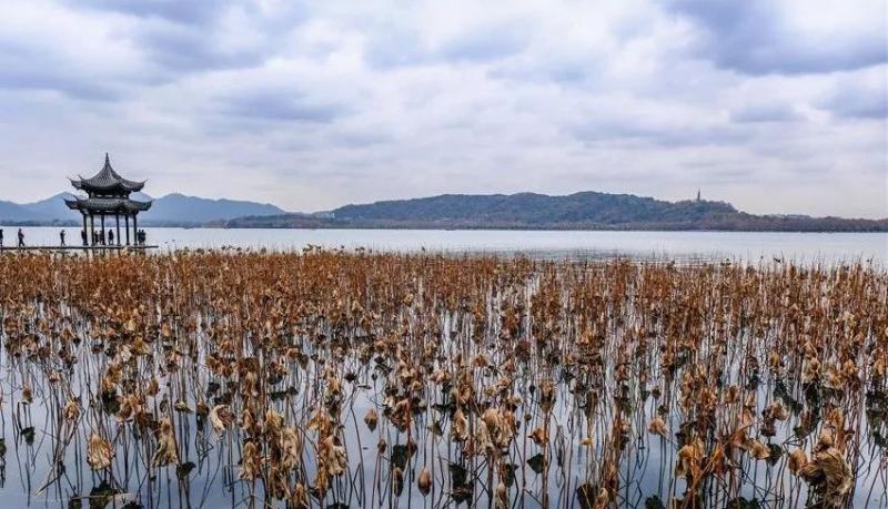 冬日里,赏西湖残荷正当时!