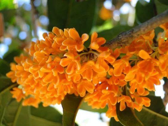 桂花作为杭州的市花,你知道是为什么吗?