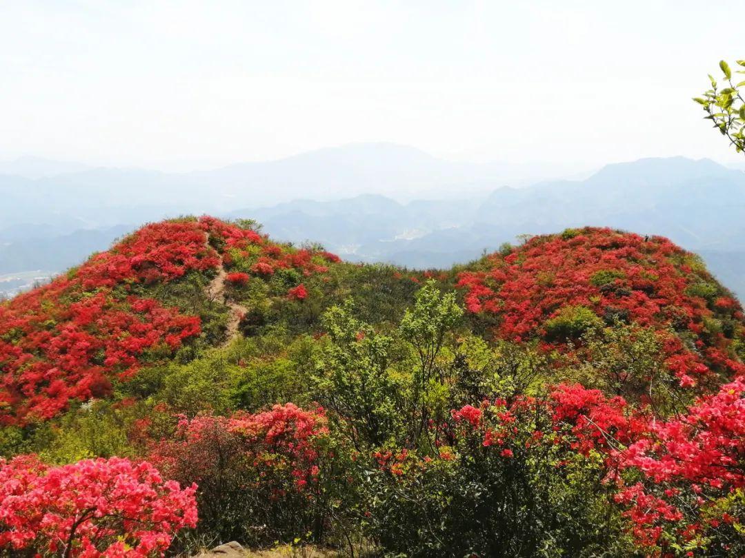 狮子山红了!建德这片千亩杜鹃花海正惊艳盛放!