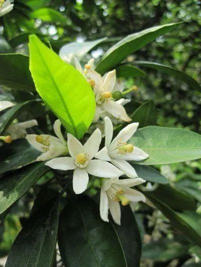 杭州最近为什么这么香?和它们有关!你闻到了吗?