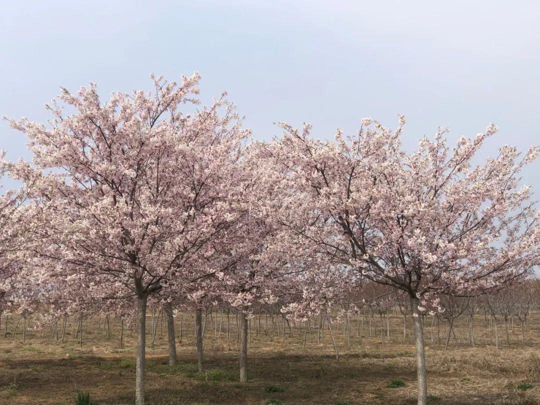 """杭州新增两条绝美樱花大道!都在哪?""""国宝级""""樱花品种,你见过吗?"""