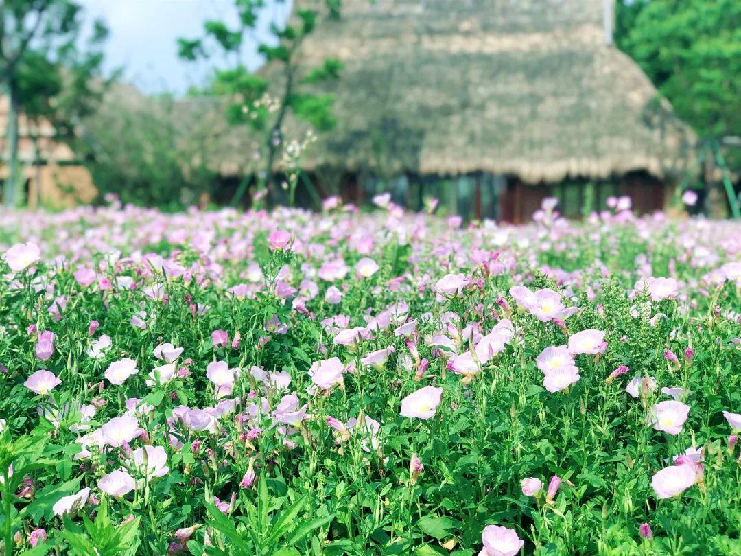 太美了!良渚古城遗址公园新一轮粉色花海上线!图2
