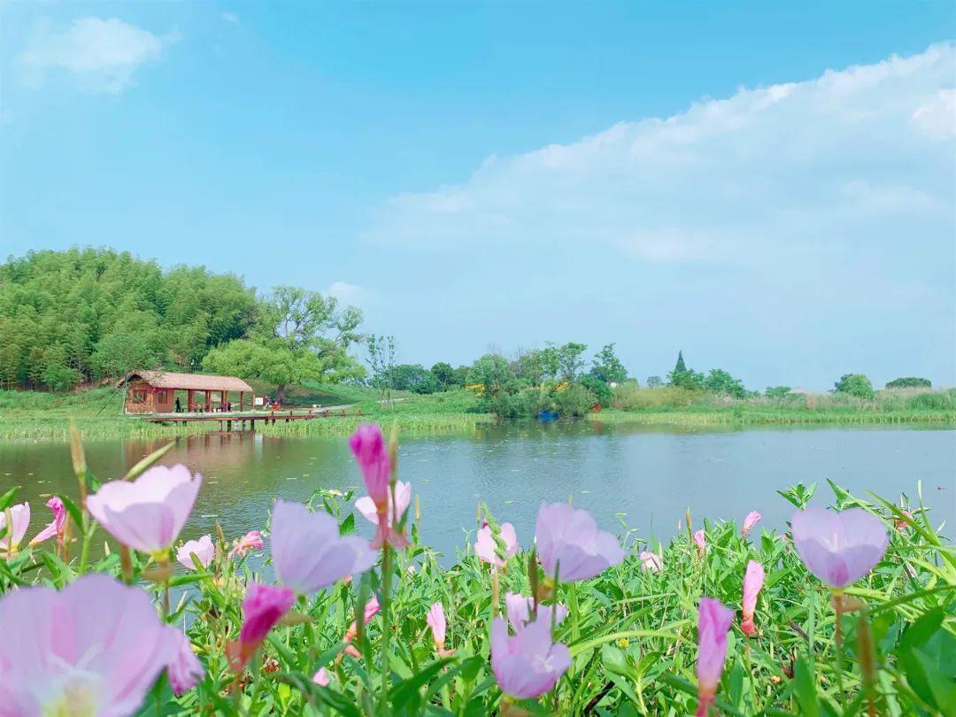 太美了!良渚古城遗址公园新一轮粉色花海上线!