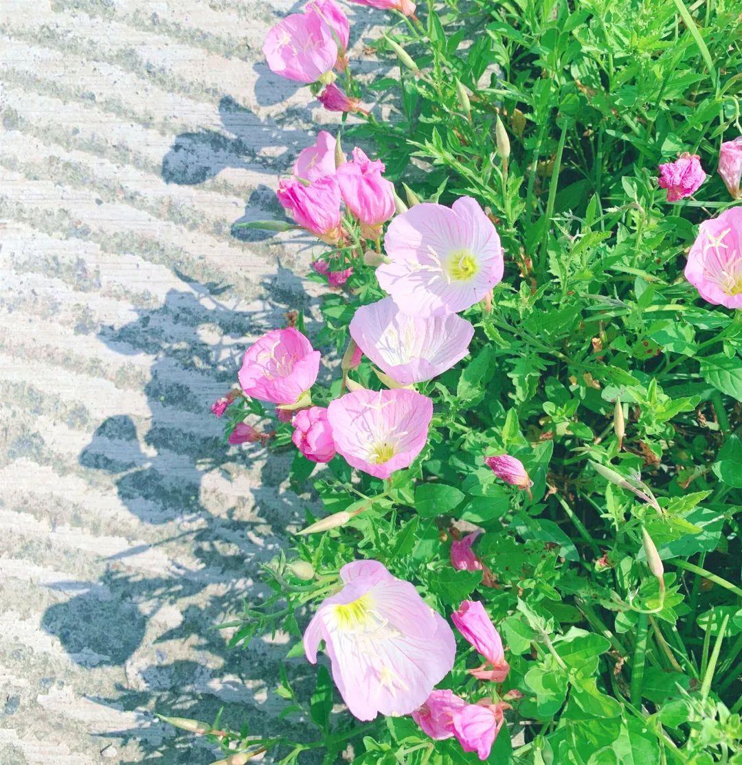 太美了!良渚古城遗址公园新一轮粉色花海上线!图3