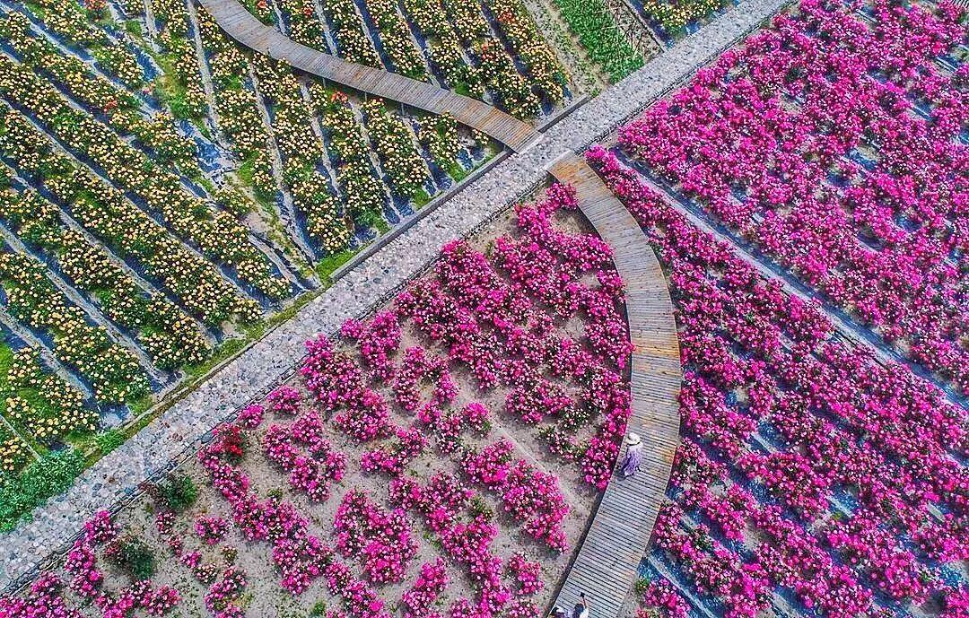 杭州周边清凉峰有个超美的玫瑰园,青山绿水,景色一绝!