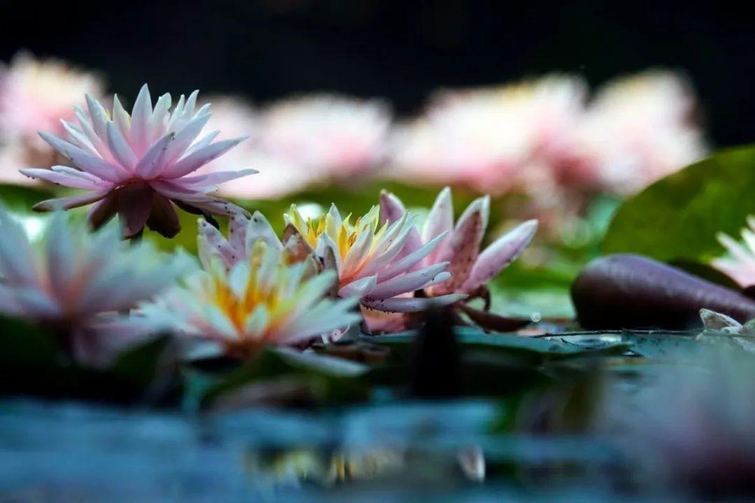 杭州西湖的睡莲开了,快来看看那些地方可以看吧!