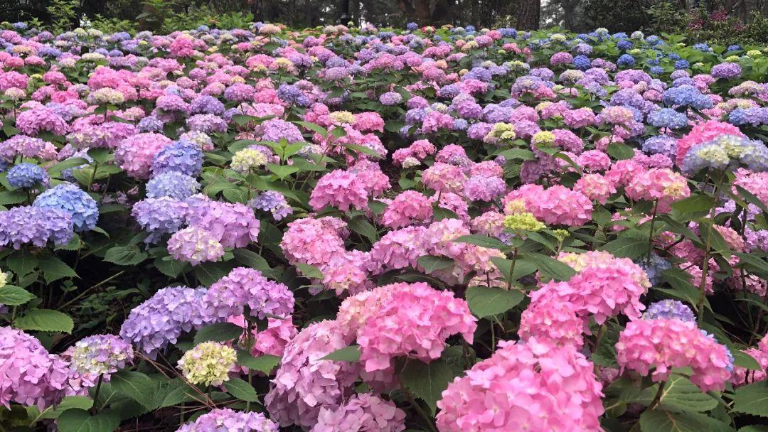 杭州这些地方的绣球花海开的太惊艳了!