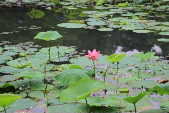 杭州今日入梅,今年以来最强降雨即将到来!西湖第一朵荷花开了