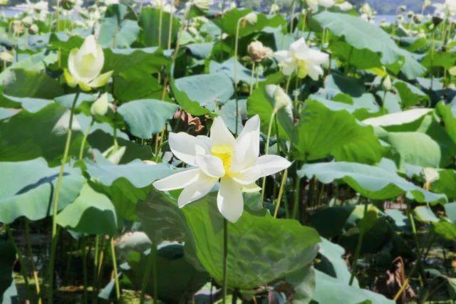 杭州西湖哪些地方可以赏荷,看完这篇你就知道了~