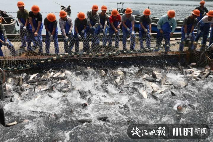 """50000斤活蹦乱跳的千岛湖""""胖头鱼""""来了!这次不涨价!"""