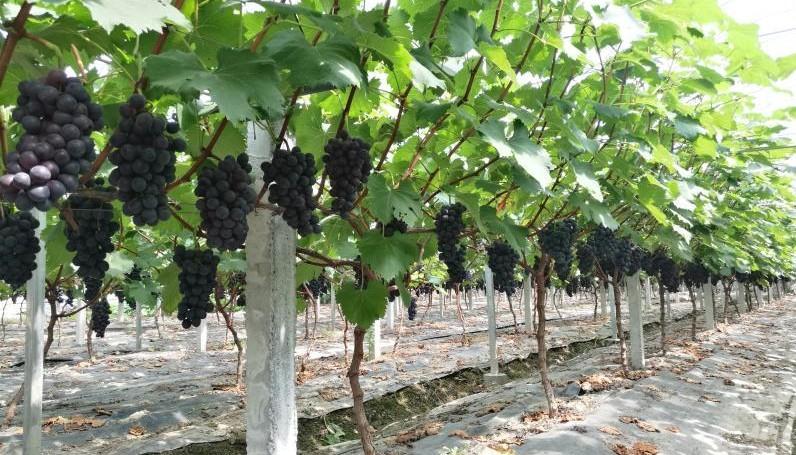 又到葡萄成熟季,这份杭州葡萄采摘地图请收好!图3