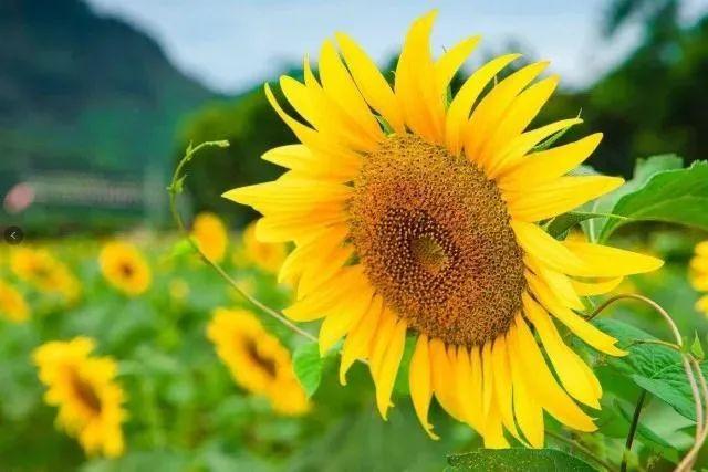 杭州出现大片金黄的向日葵花海!随手一拍都是大片~