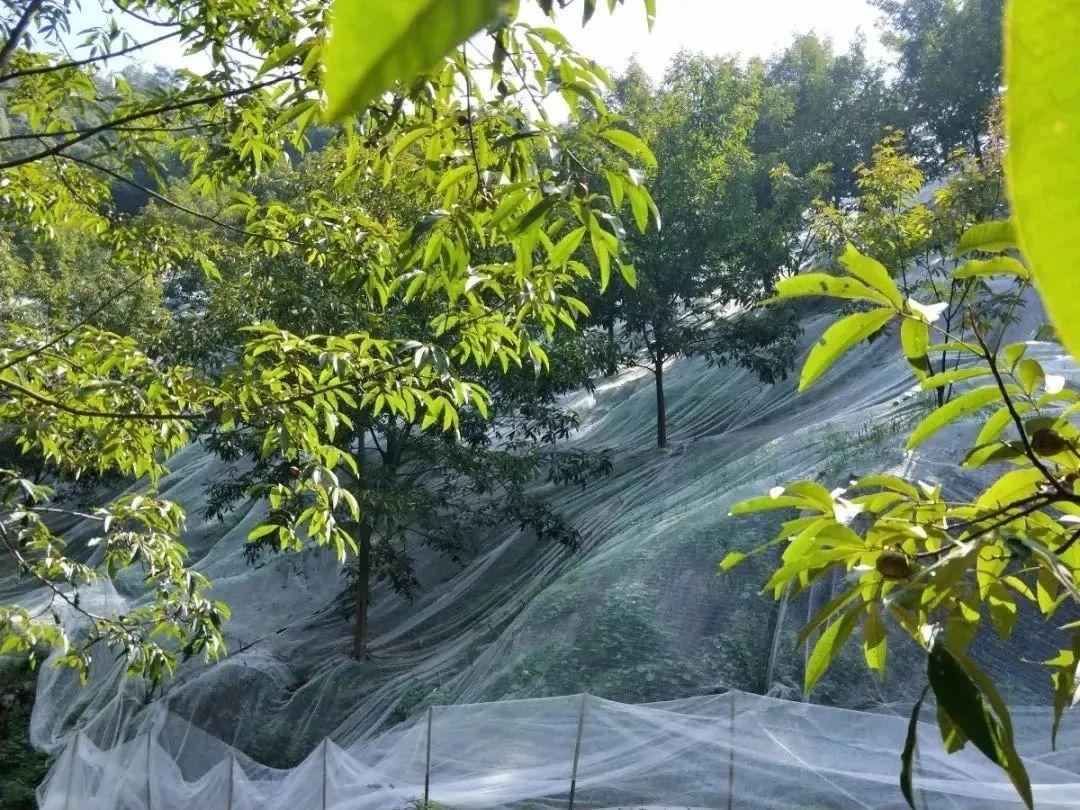 今日白露!凌晨,杭州一群人上了山,为临安山核桃开杆!图3