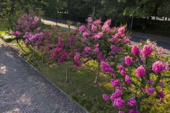 杭州5万多株紫薇再次盛放!抓紧打卡!