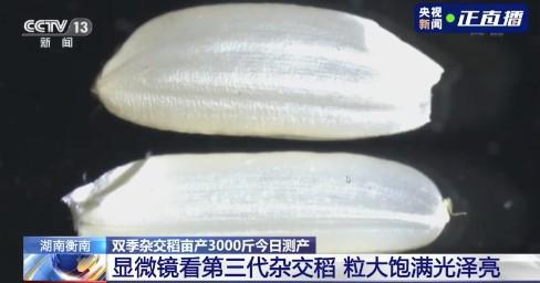 破纪录!袁隆平团队双季稻亩产超1500公斤!