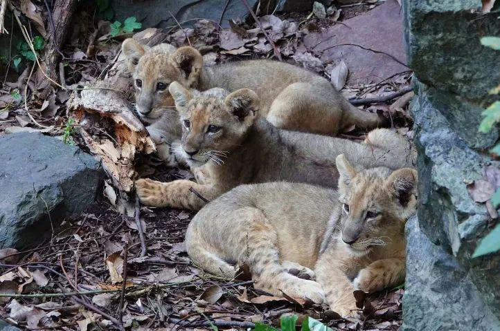 杭州动物园狮山有三个小可爱,不定期出没!快去碰运气看看吧~