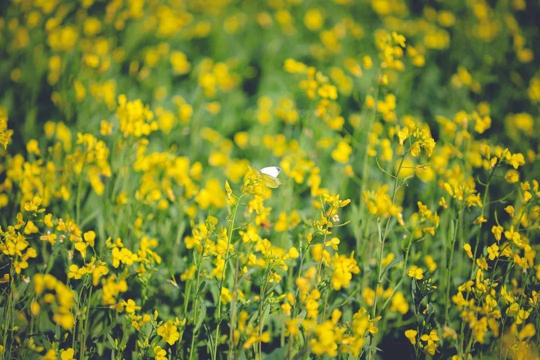11月的杭州,居然能看到漫山遍野的油菜花!