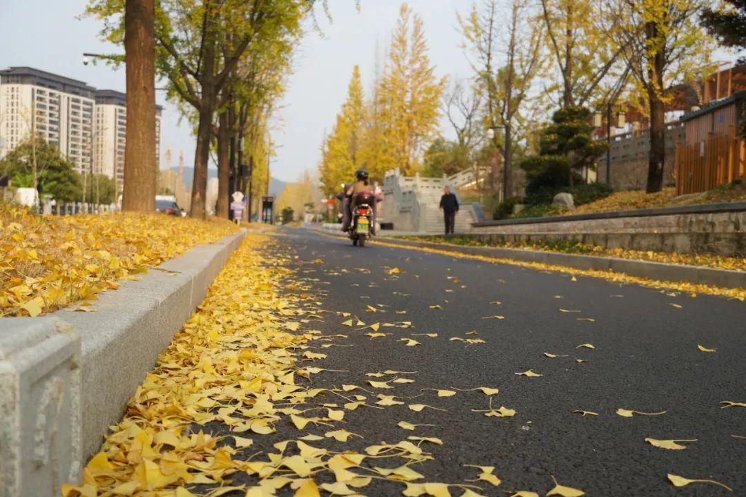 2020年杭州秋叶不扫道路太美了,赶紧去打卡吧!
