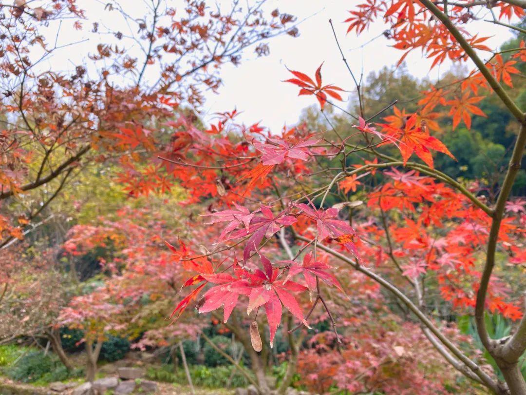 杭州西湖边上的赏枫圣地,让杭城充满暖意~
