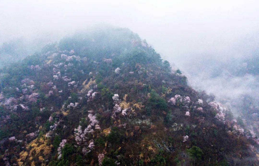 杭州第一波樱花盛放!惊艳视频美图放送,早春赏樱路线快收藏!图1