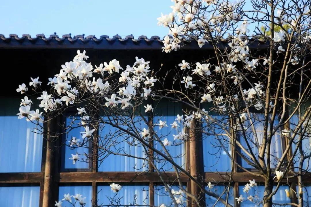 杭州最全玉兰花赏花地图来了,最美玉兰大道原来在这里!图1