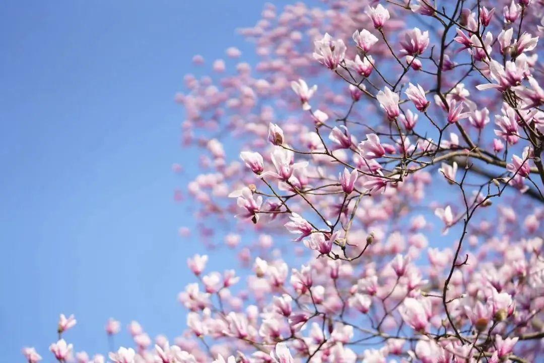 杭州最全玉兰花赏花地图来了,最美玉兰大道原来在这里!图2