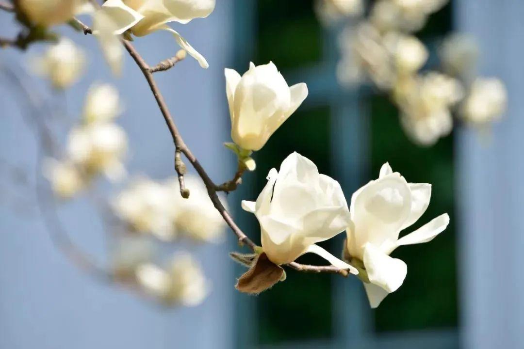 杭州最全玉兰花赏花地图来了,最美玉兰大道原来在这里!