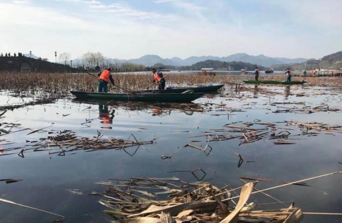 西湖残荷本周开始收割清理,四月即可见小荷尖角!图3