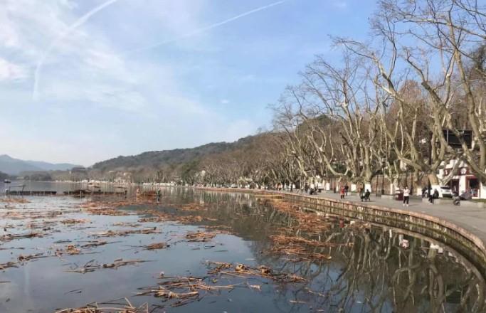 西湖残荷本周开始收割清理,四月即可见小荷尖角!
