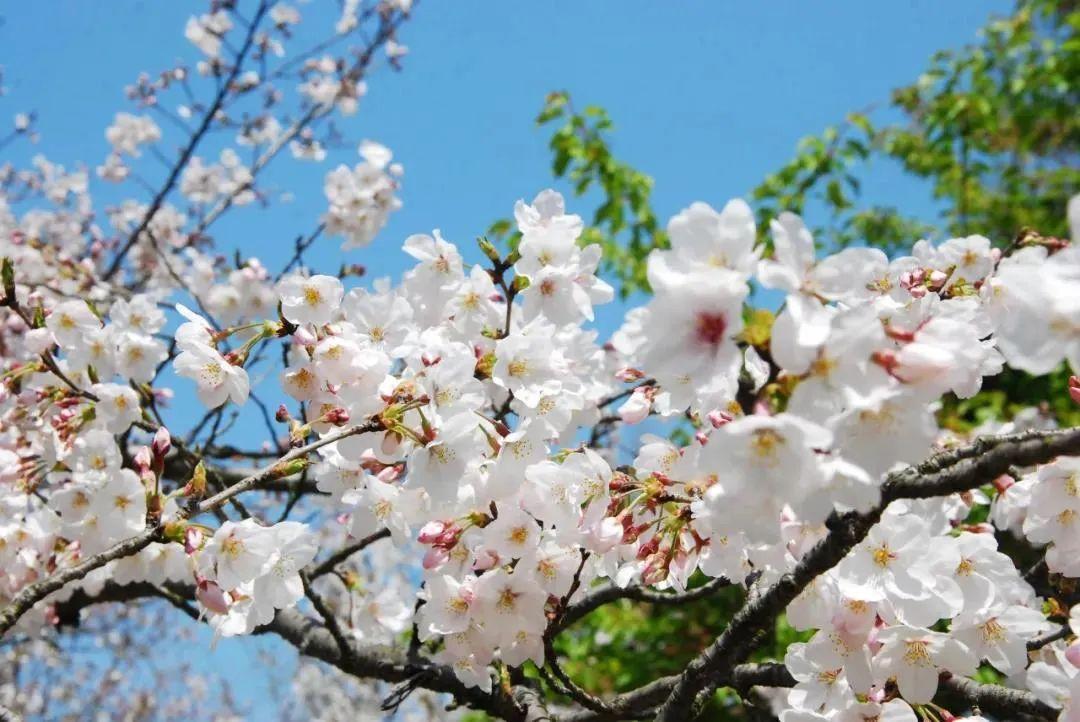 万亩野樱、央媒关注!西湖边成片郁金香绽放!这些地方赏春正好!
