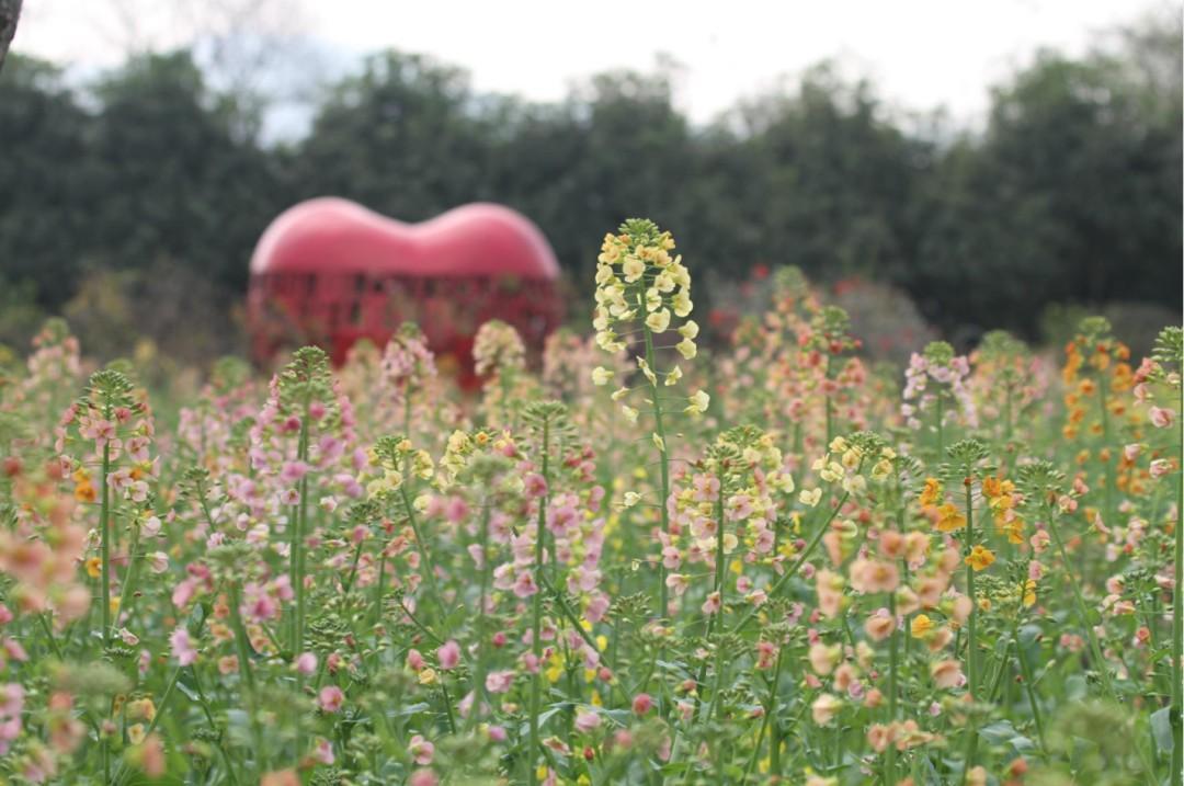 西溪湿地的彩色油菜花海绽放啦,随手一拍就能惊艳朋友圈!图2
