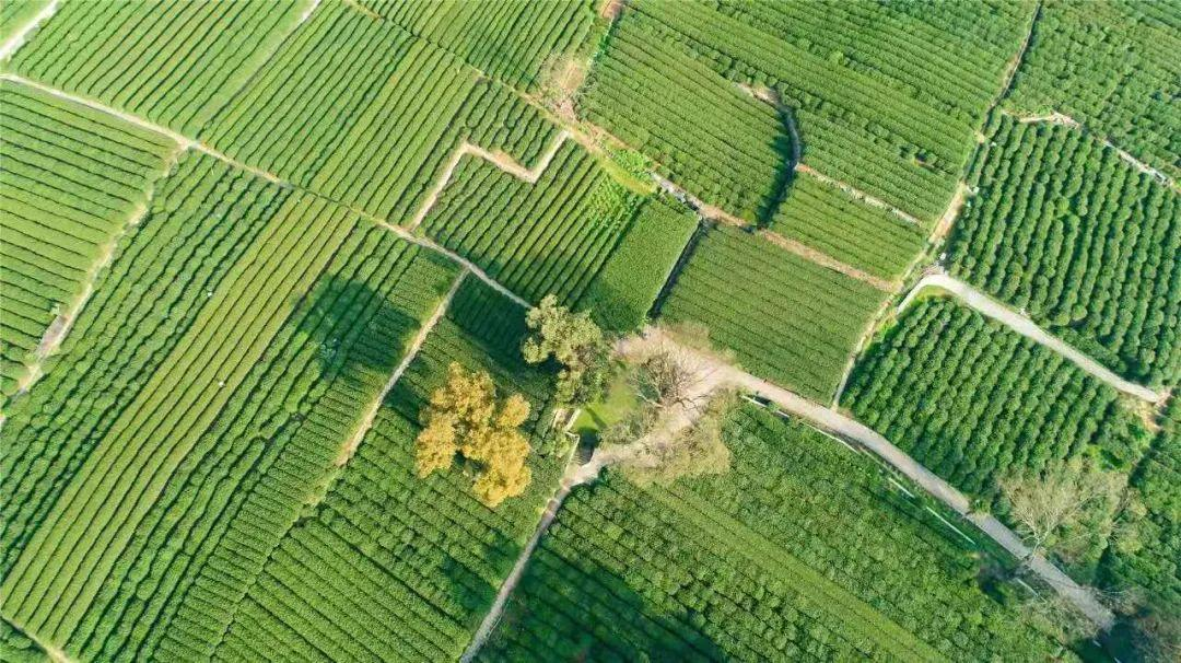 杭州西湖龙井春茶3月12日正式进入开采,购买一定要认准这个......
