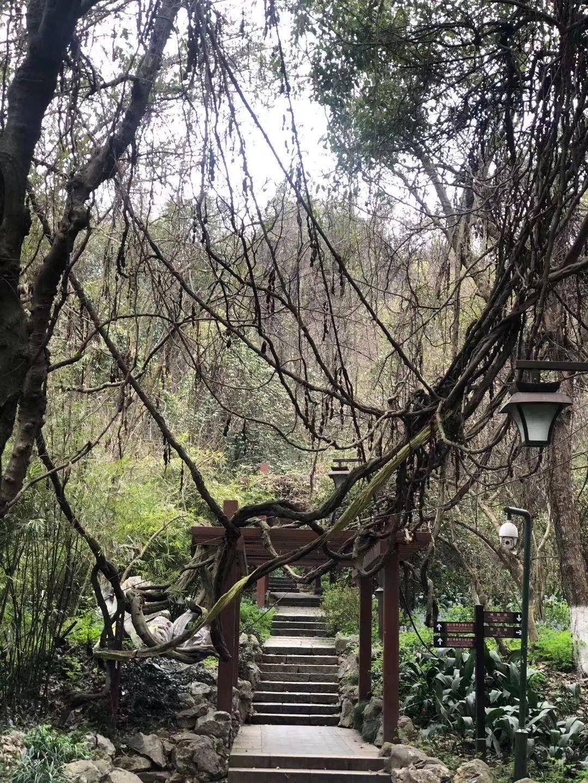 """吴山""""三最"""":最古老、最奇特、最貌美的树"""