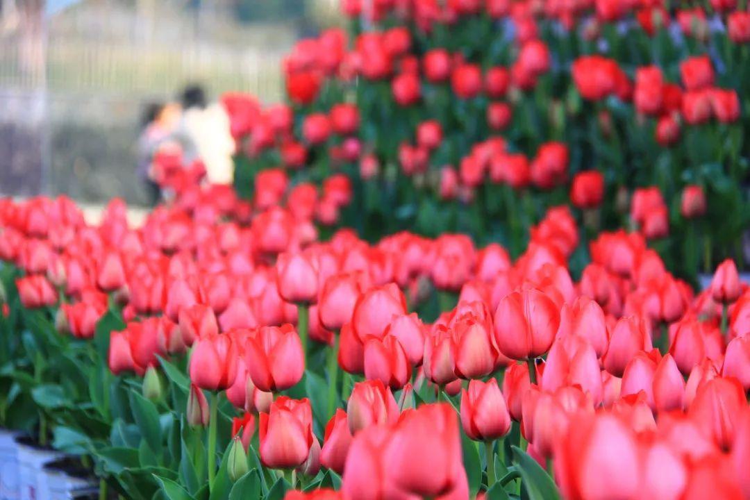 惊艳朋友圈的郁金香开了,除了太子湾,杭州还有哪些地方可以赏郁金香?