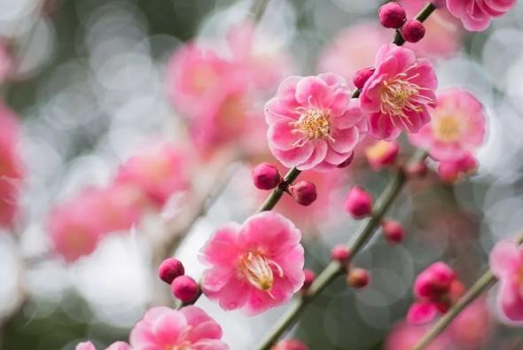 春暖花开的季节,如何区分梅花、桃花、樱花、杏花、梨花……图1