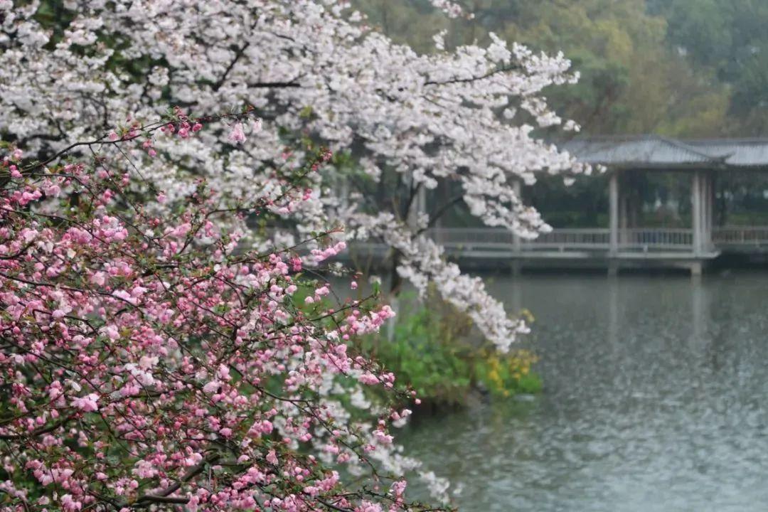 全城樱花绽放,杭州超全赏樱地图请收好!图2