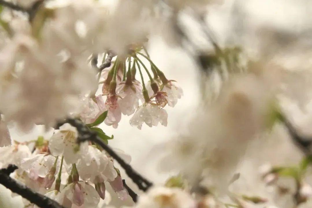 全城樱花绽放,杭州超全赏樱地图请收好!图3