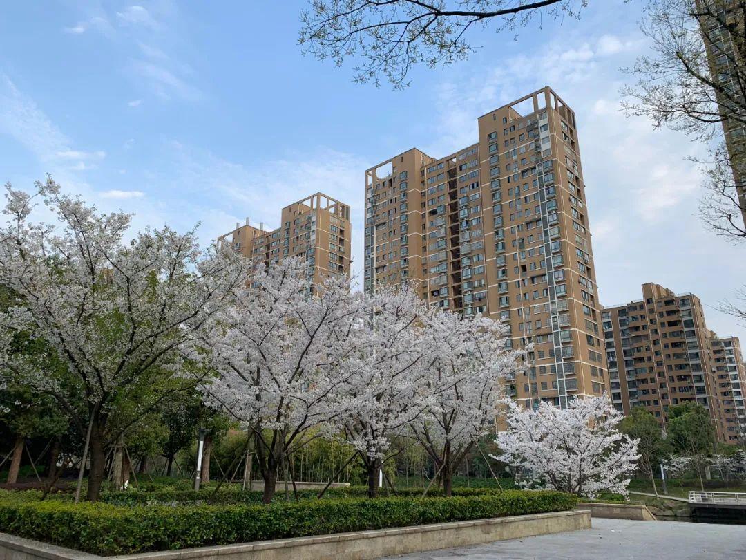 全城樱花绽放,杭州超全赏樱地图请收好!