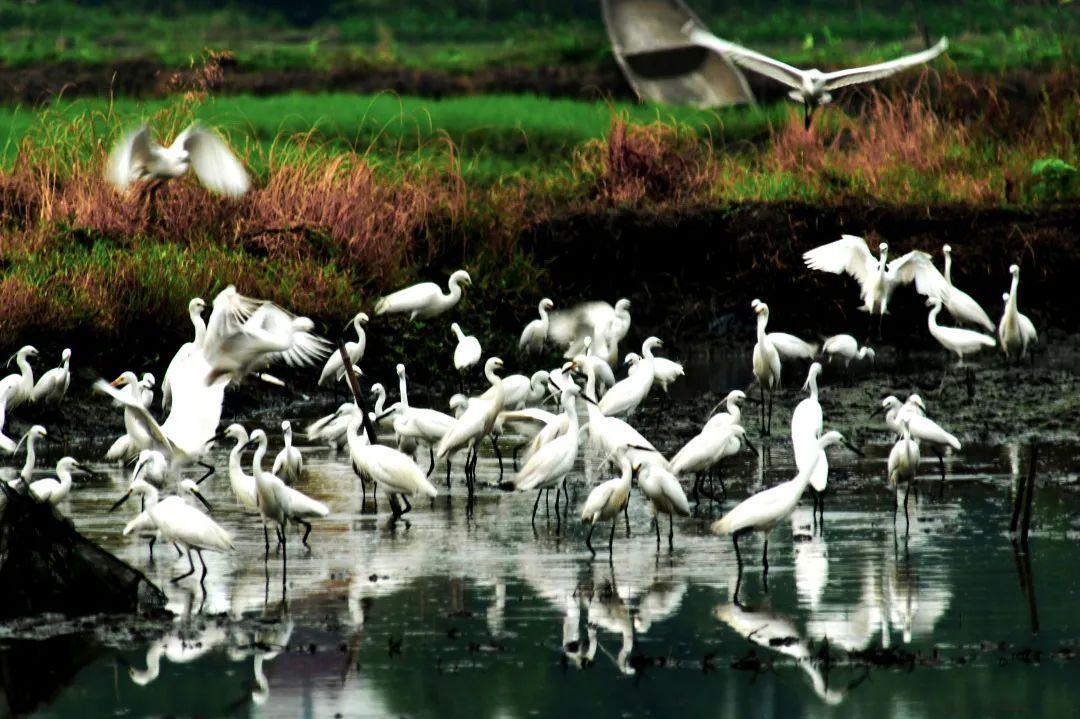 """""""长三角湿地保护一体化行动暨西溪湿地朱鹮回归试验启动仪式""""在杭州西溪湿地举办!"""