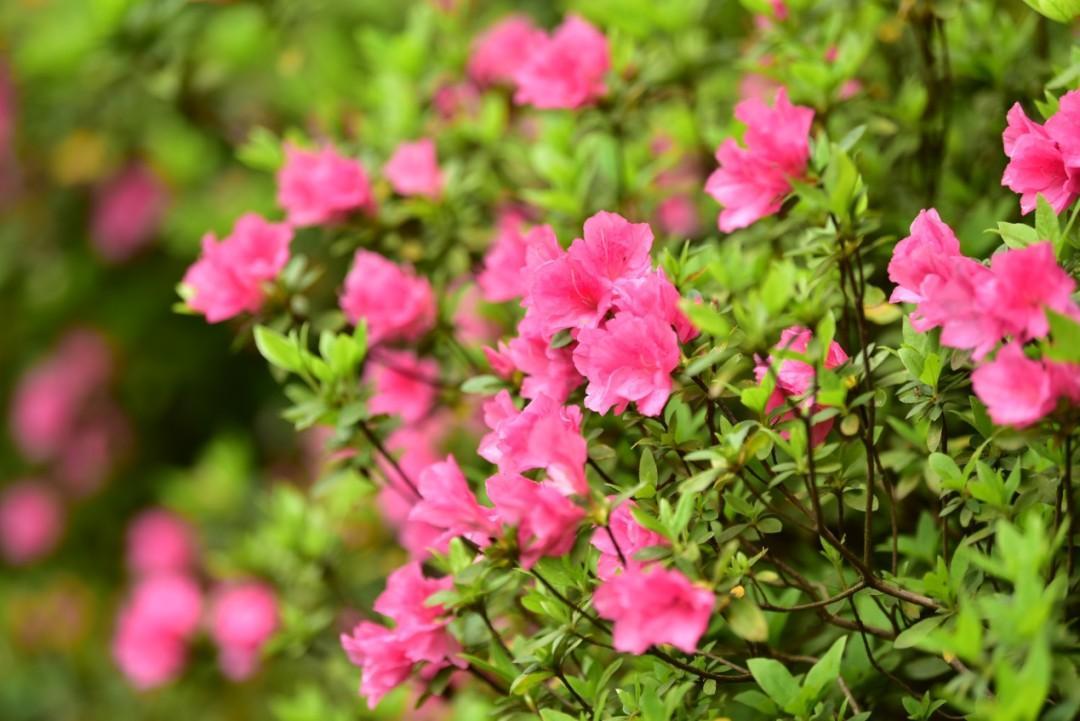 杭州4月春游网红打卡点来了!花朝节、杜鹃节......