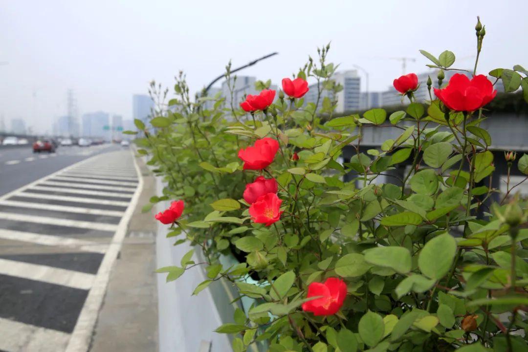 240公里、132万株!杭州高架上的月季即将完全绽放!