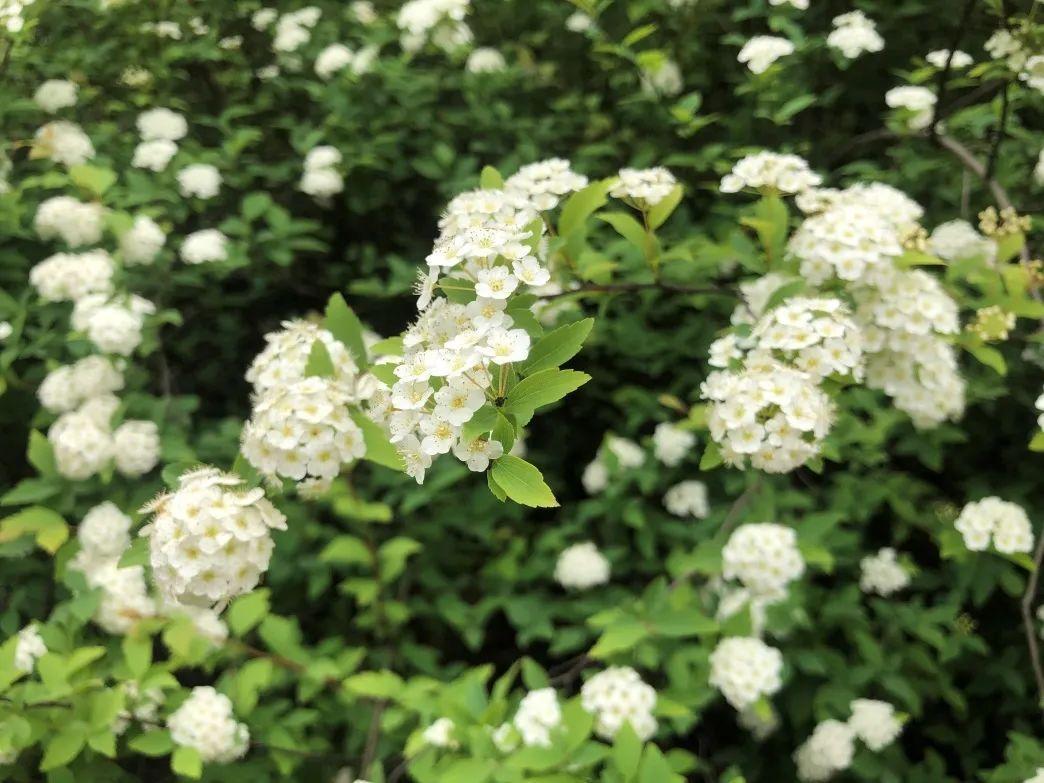 """杭州530岁的""""最美古树""""楸树开花了!"""