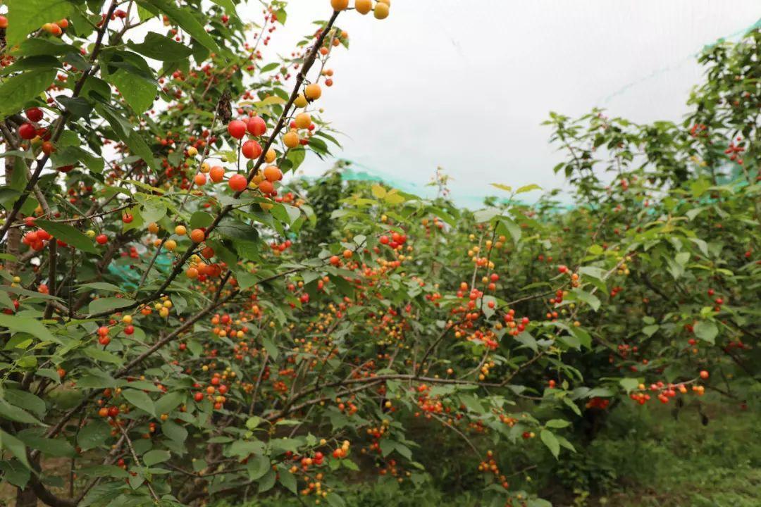 2021年杭州最新樱桃采摘地图,趁着周末去摘樱桃吧!