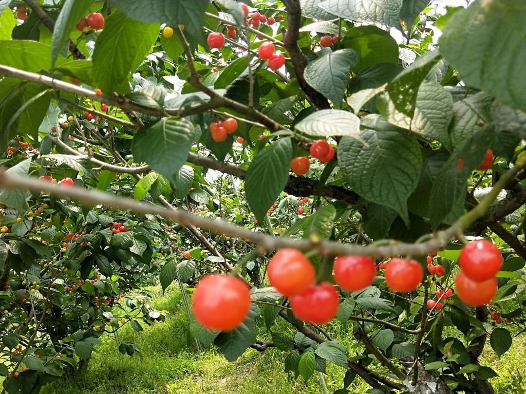 樱桃、桑葚、蓝莓……杭州水果采摘季来啦!这份最新采摘地图,赶紧收藏!