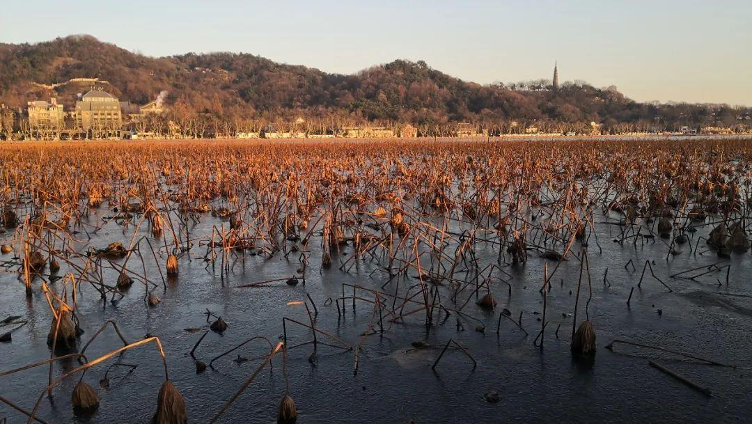 杭州西湖的荷区提早进入了幼苗生长期啦!