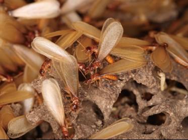 杭州遇到白蚁怎么处理?如何找到靠谱的白蚁防治机构名单?图2