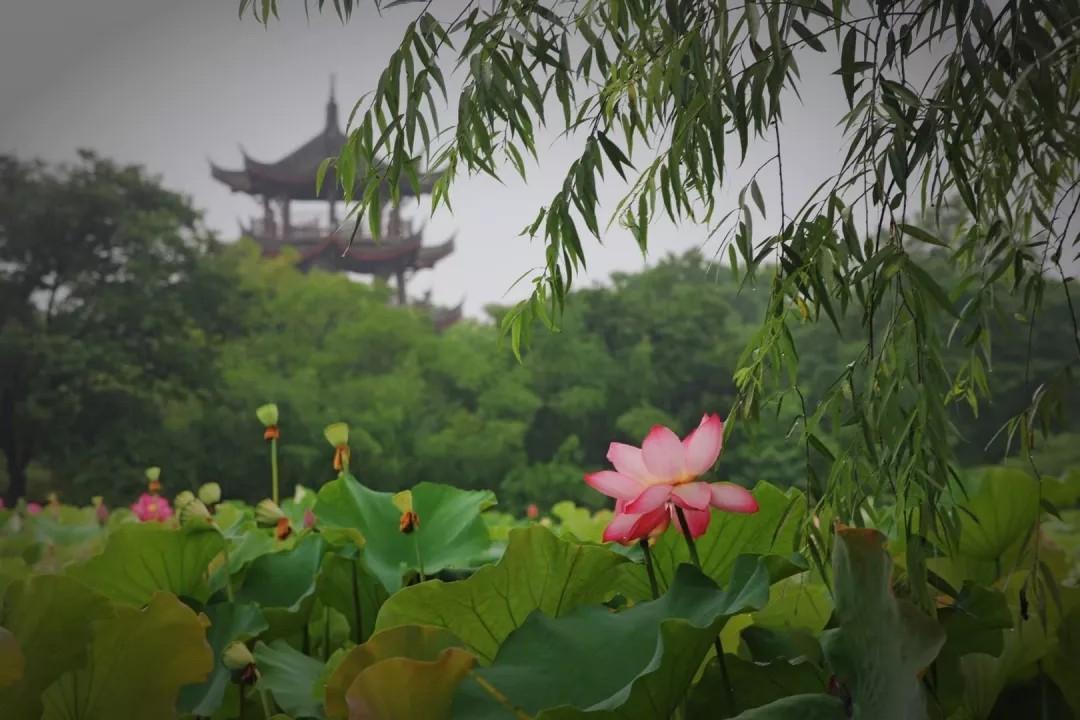 杭州荷花盛花期即将到来,除了西湖还能去哪里赏荷?